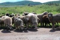 Стадо баранов терроризирует жителей одного из микрорайонов Усть-Каменогорска