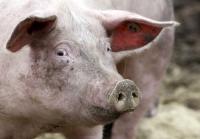 Кто подложил свинью?