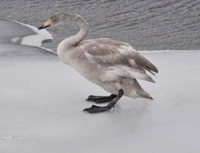 Почти месяц устькаменогорцы наблюдают, как по Иртышу плавает одинокий лебедь