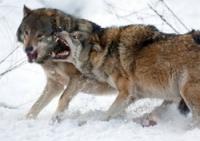 В десяти километрах от Семея волки-полукровки напали на чабана