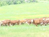(+Фото) Бородулихинском районе ВКО успешно  реализуется работа по развитию мясного животноводства