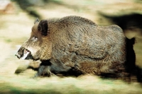 Туши кабанов и лосей изъяты у браконьеров в ВКО